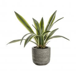 Potted Agave with Roots
