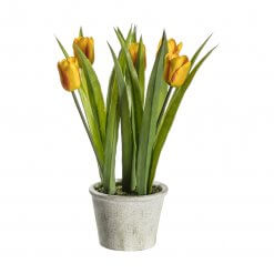 Potted Tulips Red Stripe